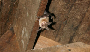 Greer AZ Bat Removal